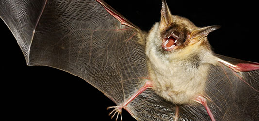 A bat flies and uses echolocation against a black background
