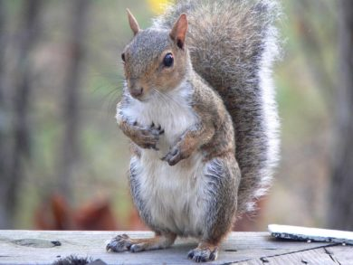 Squirrels - Second Litters & Ohio Resident Concerns: A squirrel stands upright on a Columbus, Ohio homeowner's property.