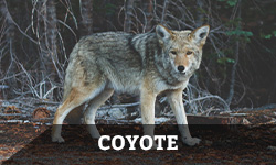 "A coyote looks around alertly near a forest with the word ""coyote"" layered overtop"