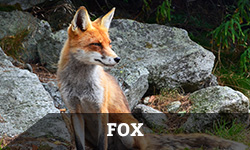 Fox Removal & Wildlife Control Services - Columbus, OH: A fox sits near a large stone