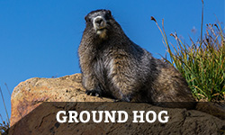ground-hog