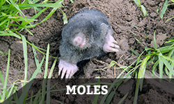 Mole Removal & Wildlife Removal Services - Columbus, OH. A mole digs and emerges from a hole in the ground