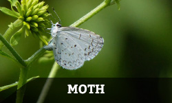 "A white, speckled moth rests on a plant with the word ""moth"" layered"" overtop"