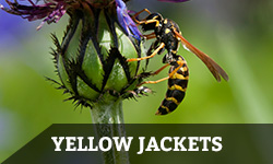 "A yellow jacket crawls on a plant with the words ""yellow jackets"" layered overtop"
