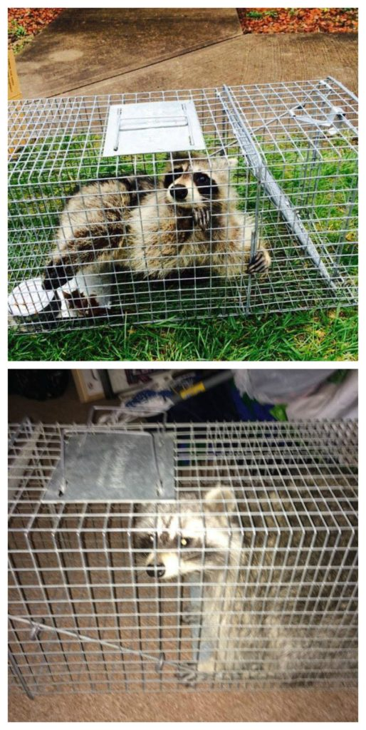 Columbus Oh Raccoon Removal Bws Raccoon Control Services