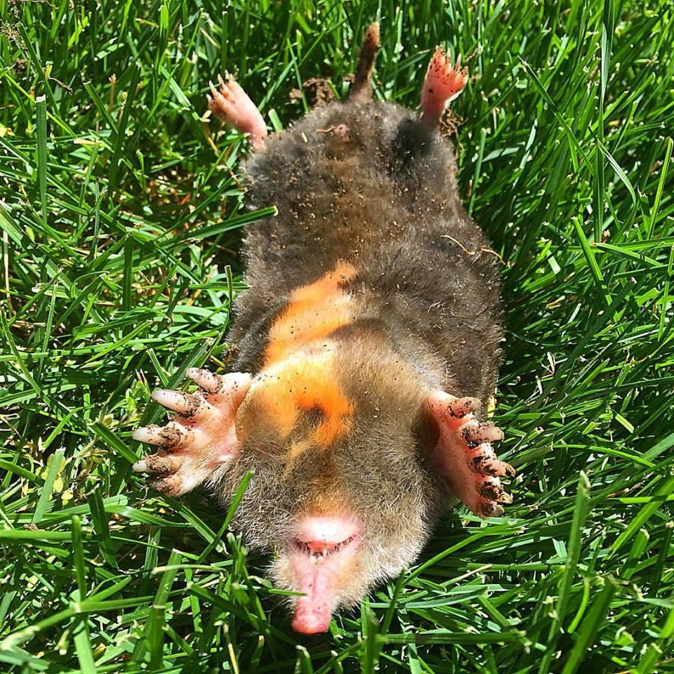 A dead mole in a yard