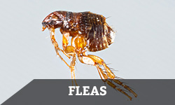 "A flea against a gray background with the word ""flea"" layered overtop"