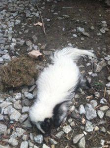 skunk-in-rocks