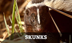 "A skunk standing in the grass with the word ""skunks"" layered overtop"