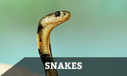 "A brown, spotted snake looks around alertly with the word ""snakes"" layered overtop"