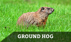 "A ground hog walks through the grass with the words ""ground hog"" layered overtop"