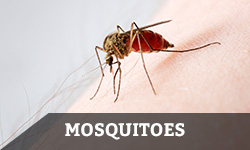 "A mosquito preparing to feed on blood from a human arm with the word ""mosquitoes"" layered overtop"