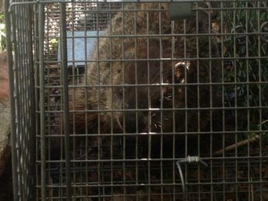 Groundhog Removal & Animal Control - Columbus, Ohio: A groundhog caught in a trap by a removal specialist.