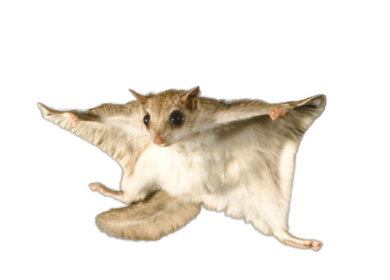 Flying Squirrel & Animal Control Services - Columbus, Ohio: A flying squirrel against a white background.