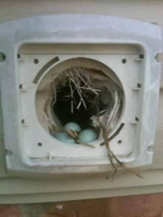 Birds In Vents Removal Of Bird Nesting Amp Mities Around