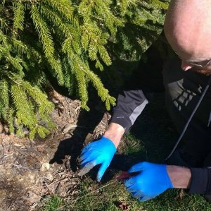 High Infestation Rates Of Yard Moles - Columbus, OH: A Buckeye Wildlife Solutions Removal Specialist points to a trapped mole.