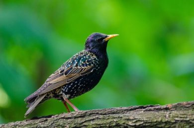 European Starling & Bird Control Services - Columbus, Ohio: A European Starling bird on a Central Ohio property.