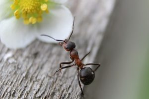 An ant crawls overtop a wooden table