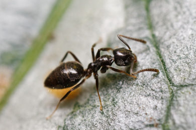 Odorous House Ants & Pest Removal - Columbus, Ohio: A house ant crawls on the floor.