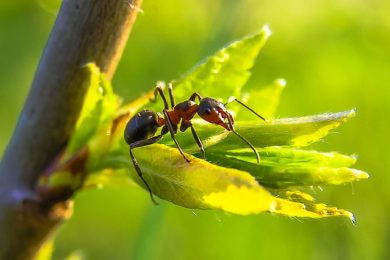 Insect Removal & Pest Control Services - Columbus, Ohio: An black ant crawls over a plant leaf