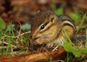 A chipmunk feeds during the day