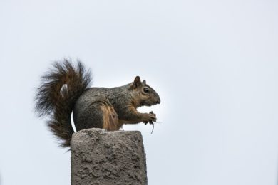 Squirrel Removal in Central Ohio: Winter Attic Issues: A Squirrel Holds Food.