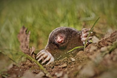 Get Rid of Moles in Columbus, Ohio - A mole digging up through a Columbus, OH homeowner's lawn