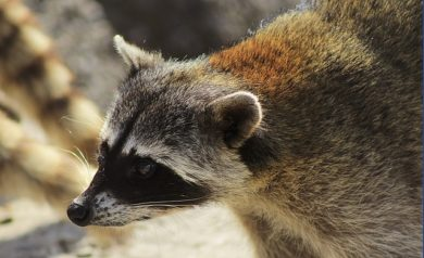 Get Rid of Raccoons During Maternity Season - Columbus, OH. A raccoon in Columbus, Ohio
