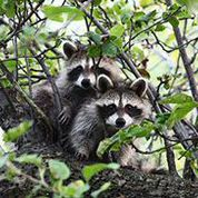 A raccoon stands overtop another raccoon on a thick tree branch