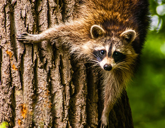 A raccoon climbs down a tree trunk and looks at the camera