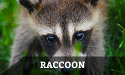Raccoon Removal & Animal Control Services - Columbus, Ohio: A raccoon closeup in a homeowner's yard.
