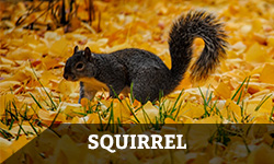 Squirrel in orange leaves