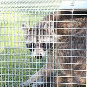 A trapped raccoon in a cage looks worriedly at the camera