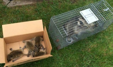 Raccoon Maternity Season & Wildlife Removal - Columbus, Ohio: A mother raccoon with babies are trapped by a Buckeye Wildlife Solutions removal specialist.
