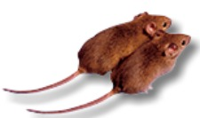national-mouse-image