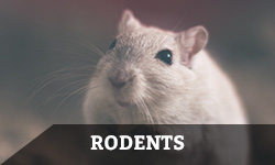 "A mouse looks upward with the word ""rodents"" layered overtop"