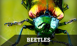 "A beetle against a grassy background with the word ""beetles"" layered overtop"