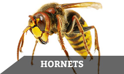"A hornet against a white background with the word ""hornets"" layered overtop"