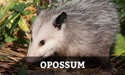 "An opossum searches for food in the grass with the word ""opossum"" layered overtop"