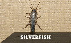 "A silverfish against a patterned, beige background with the word ""silverfish"" layered overtop"