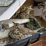Birds feed and make a nest inside of a gutter