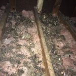 Attic insulation that is littered with bat guano