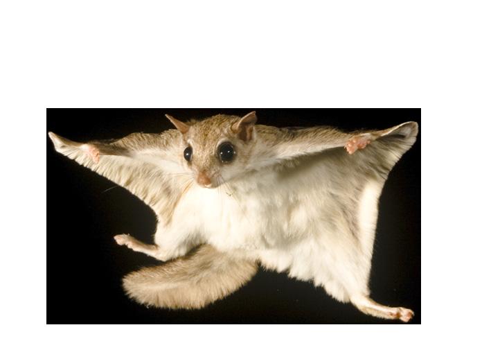 Flying Squirrel Amp Animal Control Services Columbus Ohio