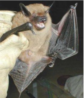 A Big Brown Bat in a Columbus, Ohio Home.