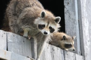 Raccoons can nest in sheds like the two shown here.