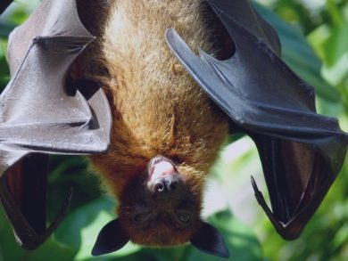 Histoplasmosis in Bat Guano & Bat Control - Columbus, Ohio: A bat hands upside down.