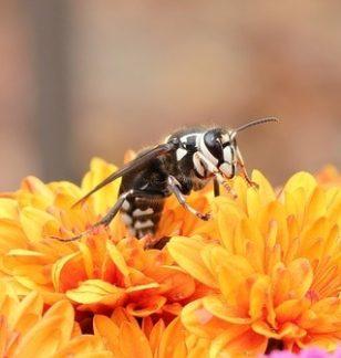 Bald-Faced Hornets & Pest Removal - Columbus, OH: A hornet flies near orange flowers.