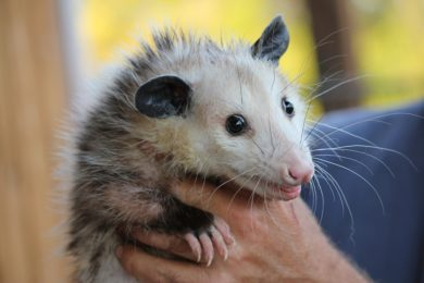 Opossum Removal & Animal Control Services - Columbus, OH: An opossum caught by a Buckeye Wildlife Solutions expert in Central Ohio.