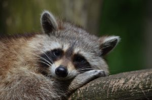 A raccoon is located on a Columbus homeowner's lot.
