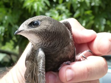 Chimney Swifts - Birds & Animal Control - Columbus, Ohio: A Bird (Chimney Swift) in a Buckeye Wildlife Solutions Removal Specialist's Hand.